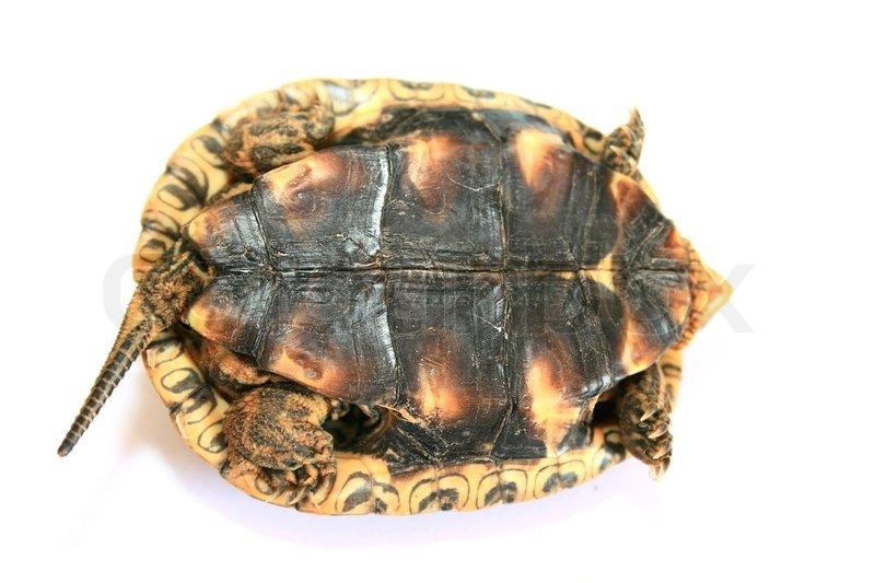 turtle lying on back isolated on white background stock