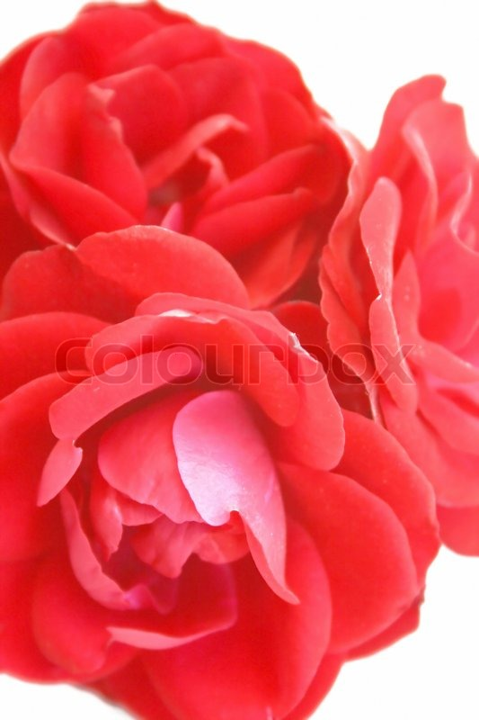 Three red roses together close-up | Stock Photo | Colourbox