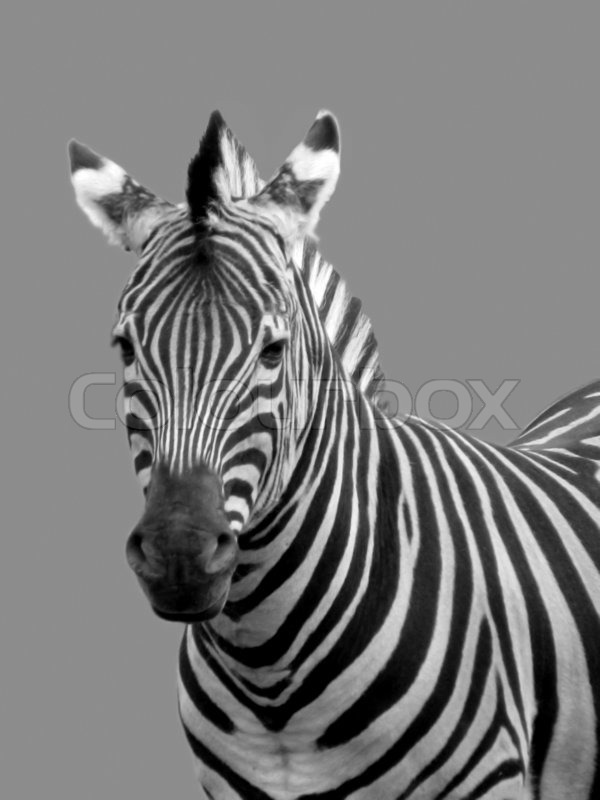 Stock image of 'Black and white portrait of zebra'