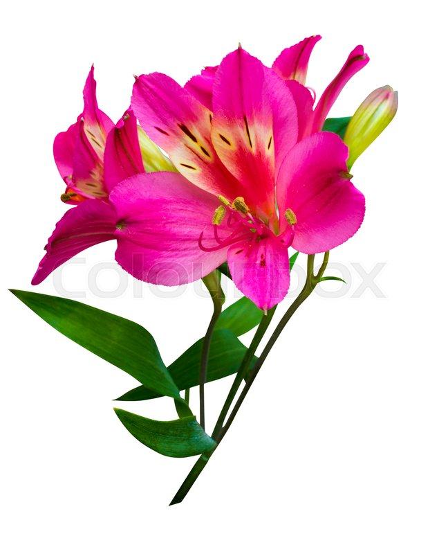 Bouquet of flowers alstroemeria bouquet of flowers alstroemeria bouquet of flowers alstroemeria bouquet of flowers alstroemeria flowers alstroemeria bouquet of alstroemeria flowers isolated on white background mightylinksfo