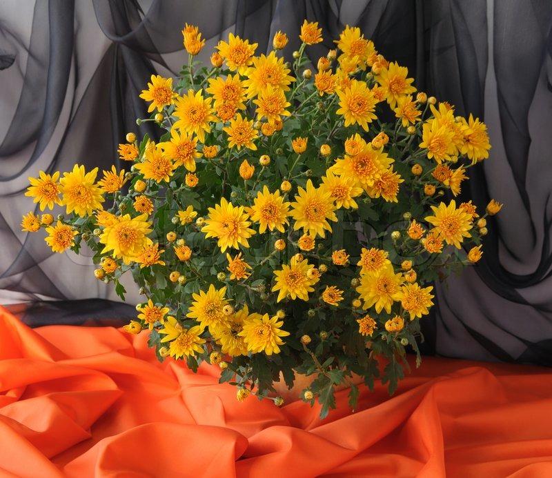 strauss aus gelben chrysanthemen in einem topf auf dem schwarz orange hintergrund stockfoto. Black Bedroom Furniture Sets. Home Design Ideas