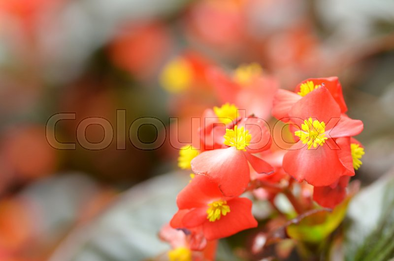 Flowers begonia begonia is a flower of extraordinary beauty with an amazing ability to bloom - Flowers that bloom all year round ...