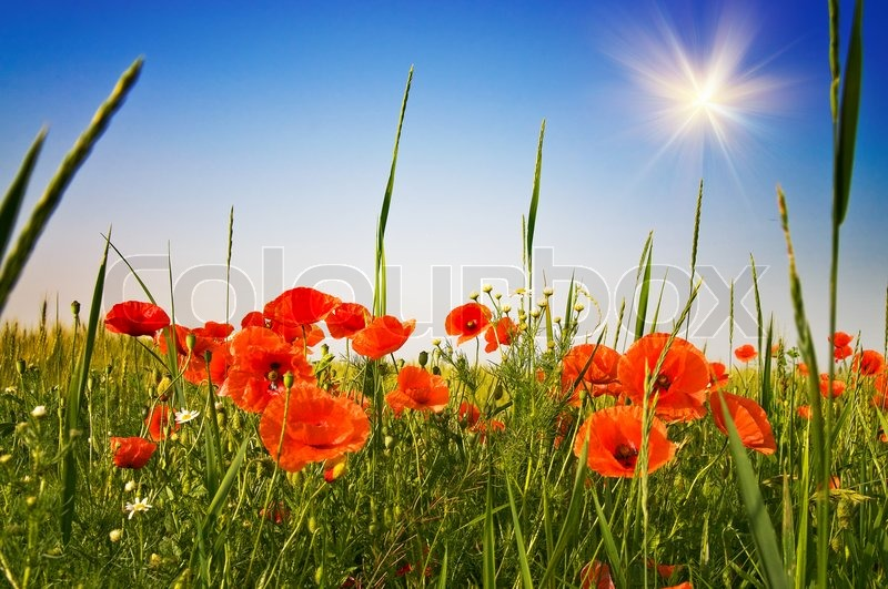 amazing summer field with wheat and colorful poppies  stock photo, Beautiful flower