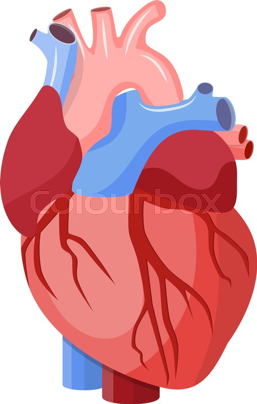 Anatomical Heart Isolated Muscular Organ In Humans Heart