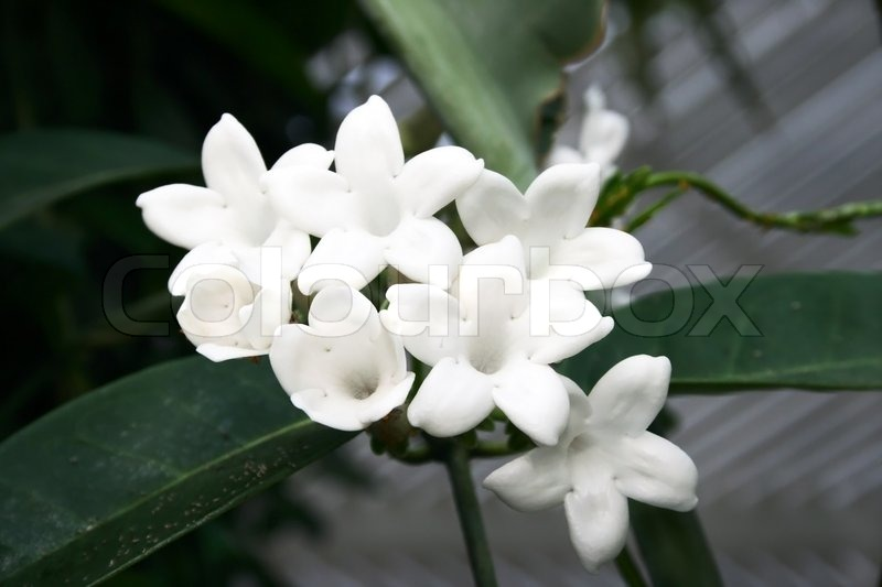 White tropical flowers in the garden stock photo colourbox mightylinksfo
