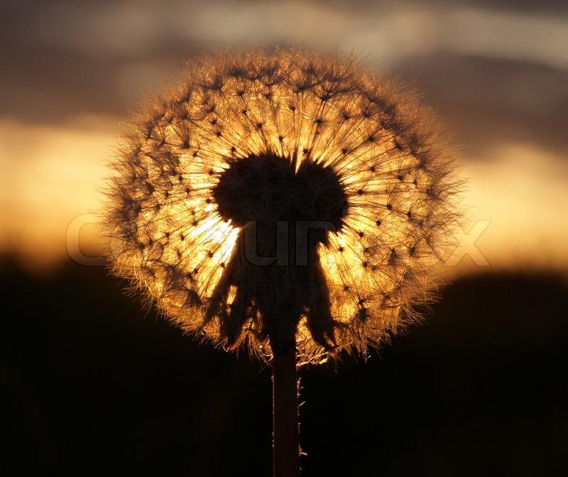 dandelion sunset related keywords - photo #19