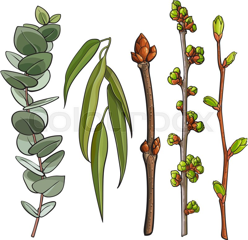 Set Of Tree Twigs With Leaf Bud Ready To Burst Willow And Eucalyptus Branches Sketch Vector Illustration Isolated On White Background