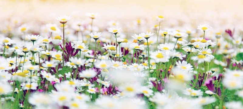 Spring field of white fresh daisies, natural panoramic ...