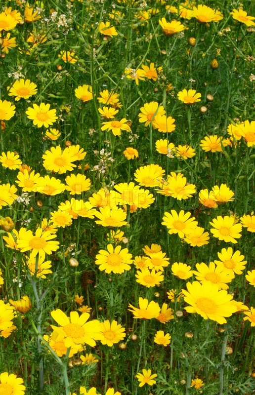 yellow daisies in the field  stock photo  colourbox, Beautiful flower