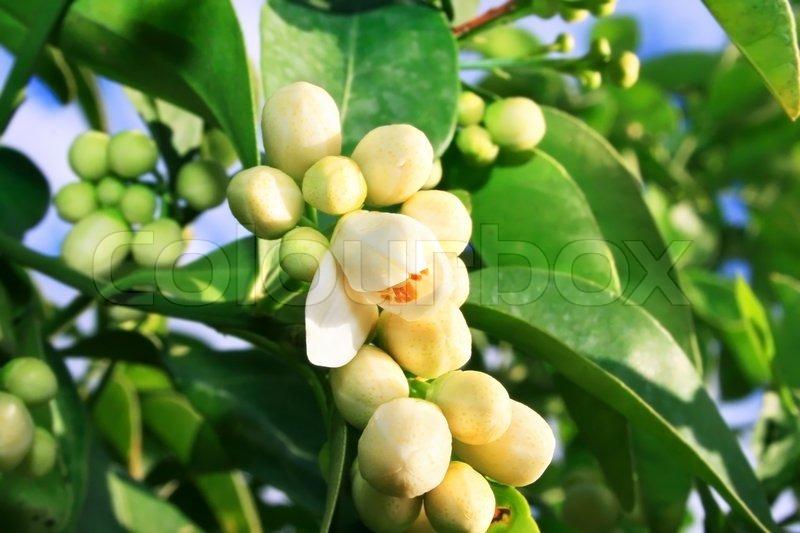 Фото цитрусовых цветков