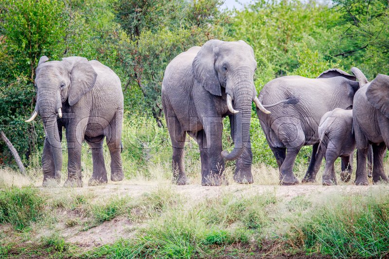 Herd of Elephants standing in the grass in the Kruger National Park, South Africa, stock photo