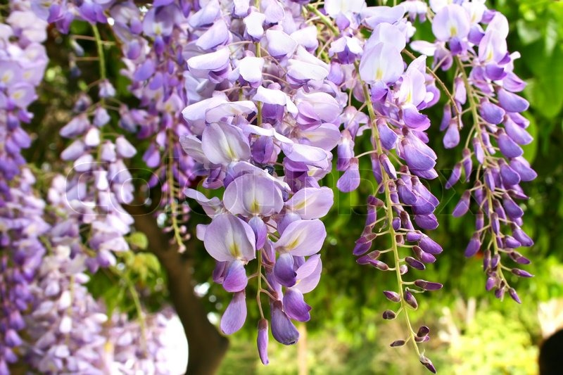 Violet Tropical Flowers In The Garden ...