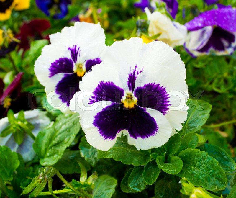 Violet flower pansies flower pansy colorful pansies white violet flower pansies flower pansy colorful pansies white pansies stock photo colourbox mightylinksfo