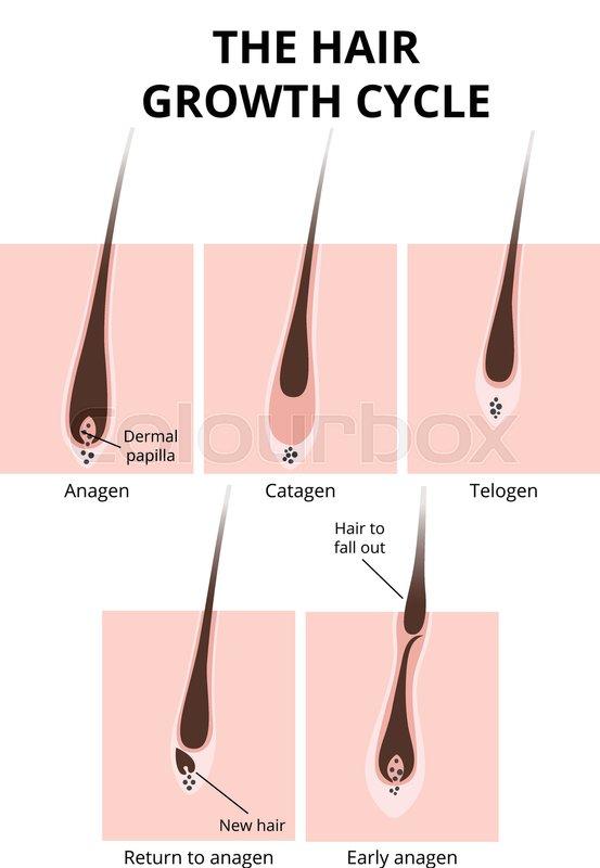 Hair Growth Phase Anatomy Diagram Of Human Hair Stock Vector