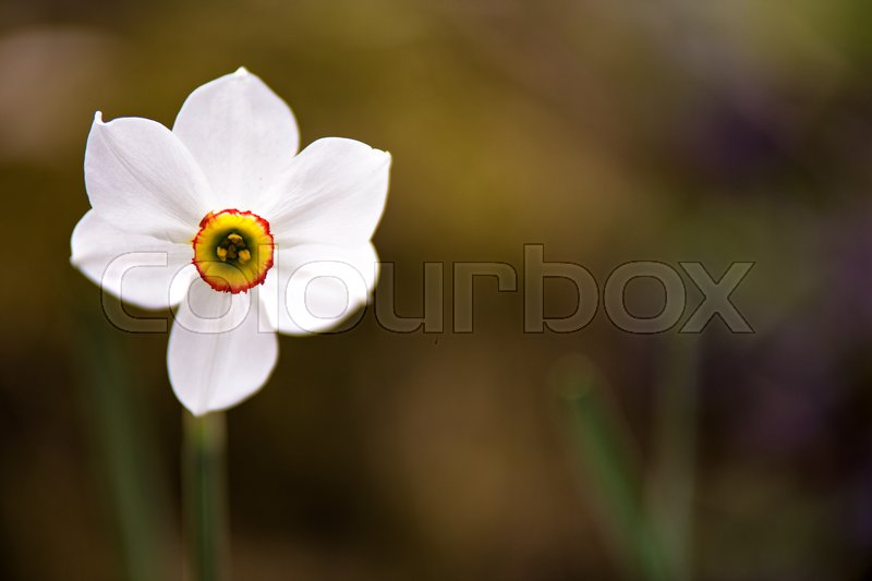 White narcissus flower blossoming on a spring day. Single daffodils flower close up. Copy space, stock photo
