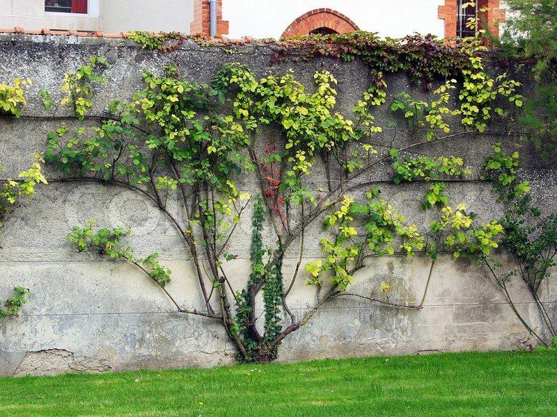 Bush Decorative Grapes On A Concrete Fence Stock Photo