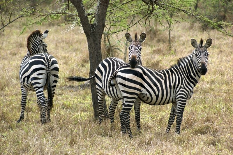 Stock image of 'some zebras seen in Uganda (Africa)'