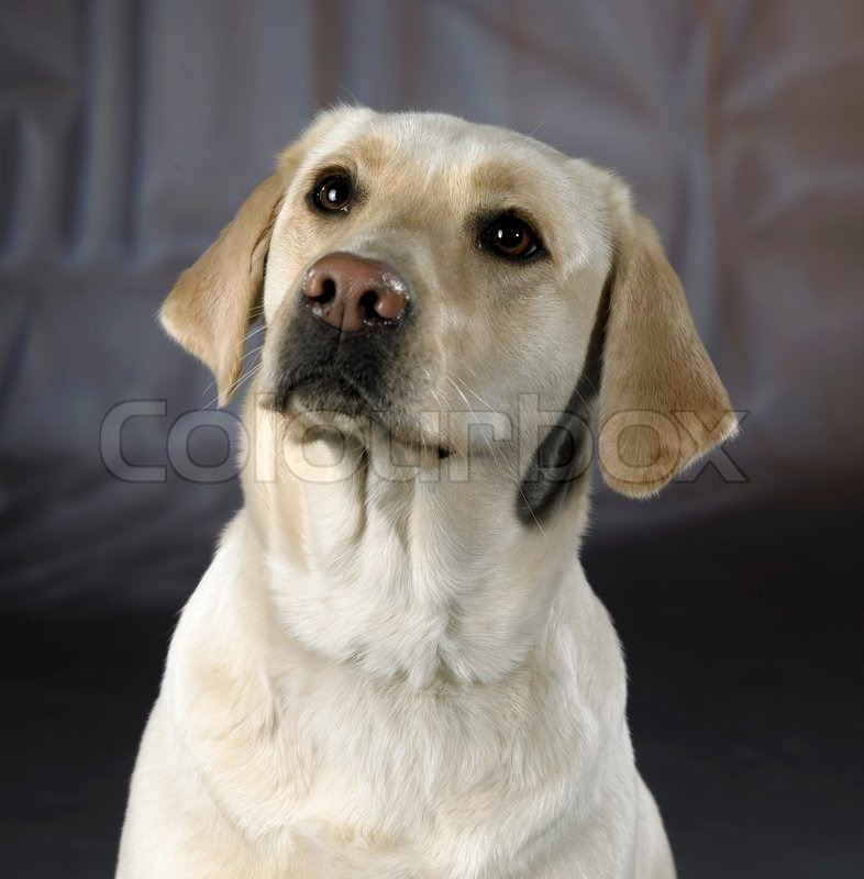 Studio portrait of a light colored dog in abstract back, stock photo