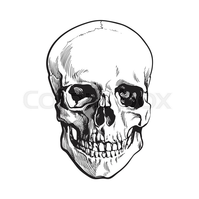 realistic front view hand drawing of human skull stock vector colourbox