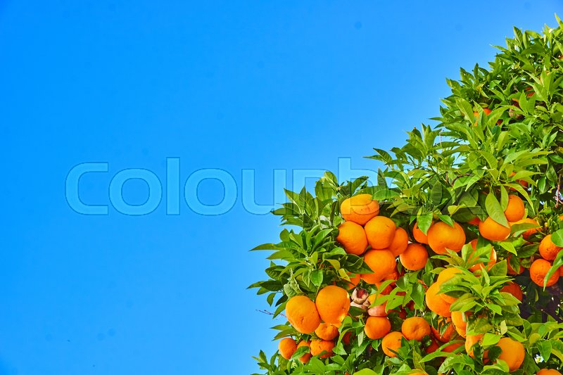 Clementines ripening on tree against blue sky. Tangerine tree. Oranges on a citrus tree, stock photo