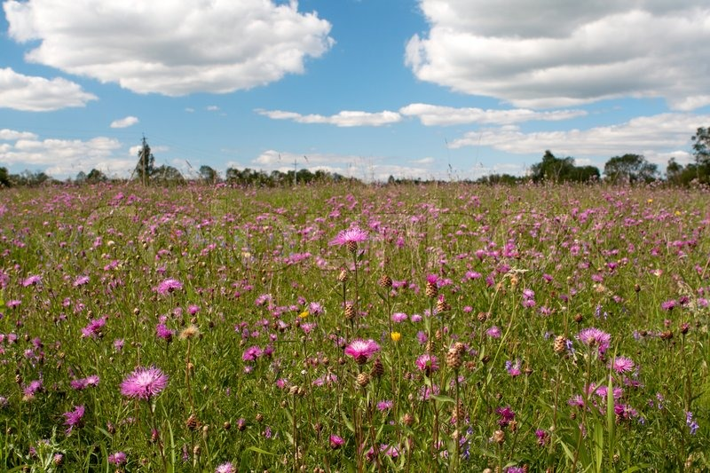 Meadow with wild pink flowers under blue sky with clouds stock meadow with wild pink flowers under blue sky with clouds stock photo mightylinksfo Image collections