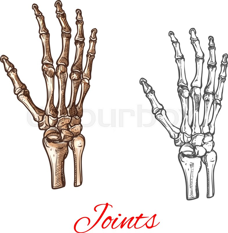 Human hand bones and joints skeleton vector sketch body anatomy icon ...