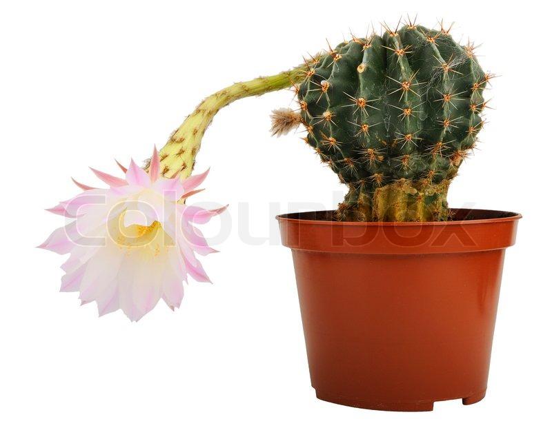 kaktus mit bl te auf wei em hintergrund isoliert stockfoto colourbox. Black Bedroom Furniture Sets. Home Design Ideas