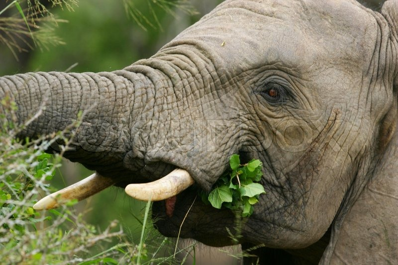 Stock image of 'African Elephant'