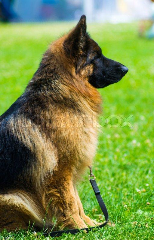 German Shepherd. Dog german shepherd in a nice spring day, stock photo