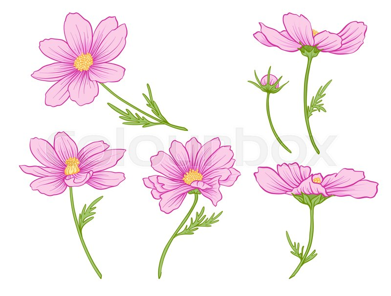 Cosmos flowers set of colored flowers stock line vector cosmos flowers set of colored flowers stock line vector illustration vector mightylinksfo