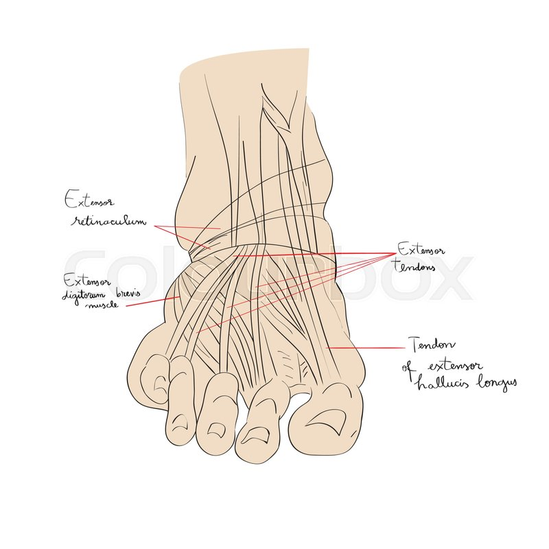 Hand drawn illustration of the foot tendons isolated on white ...
