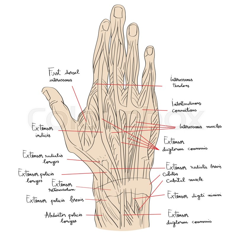 Sketch Illustration Of The Hand Muscles Isolated On White Artistic