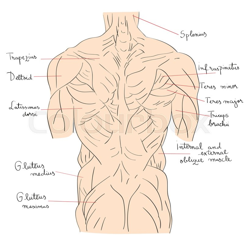 Hand drawn illustration of the torso muscles isolated on white ...