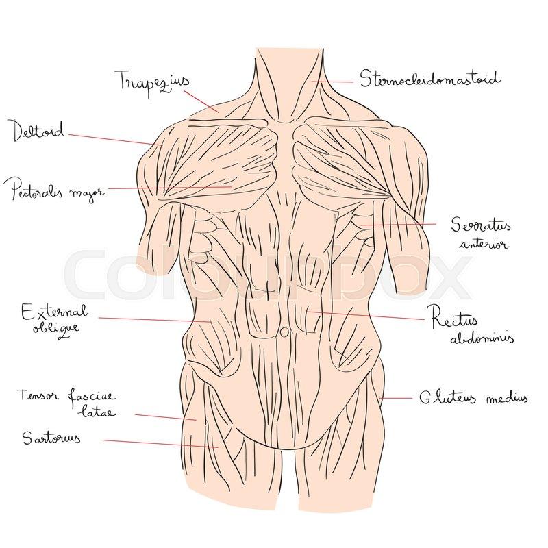 Fein Deltoidmuskel Fotos - Anatomie und Physiologie des ...