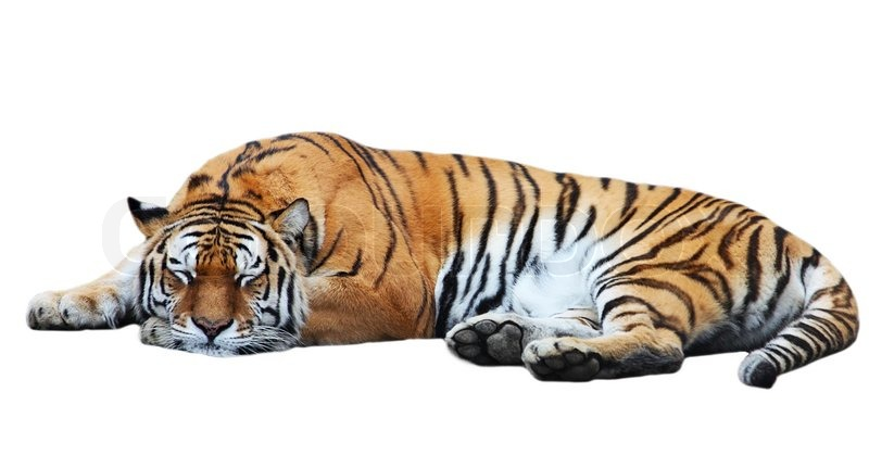 Sleeping Tiger Wallpaper