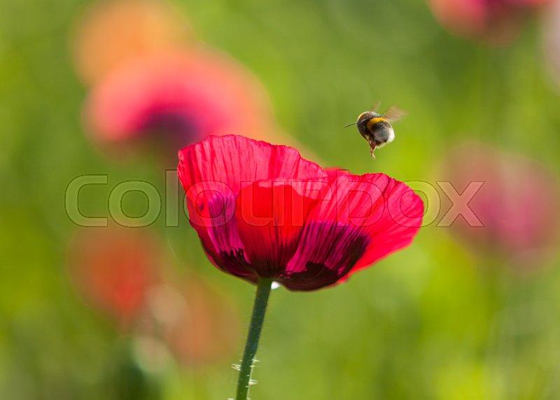 Bumbl bee above purple opium poppy flower stock photo colourbox mightylinksfo