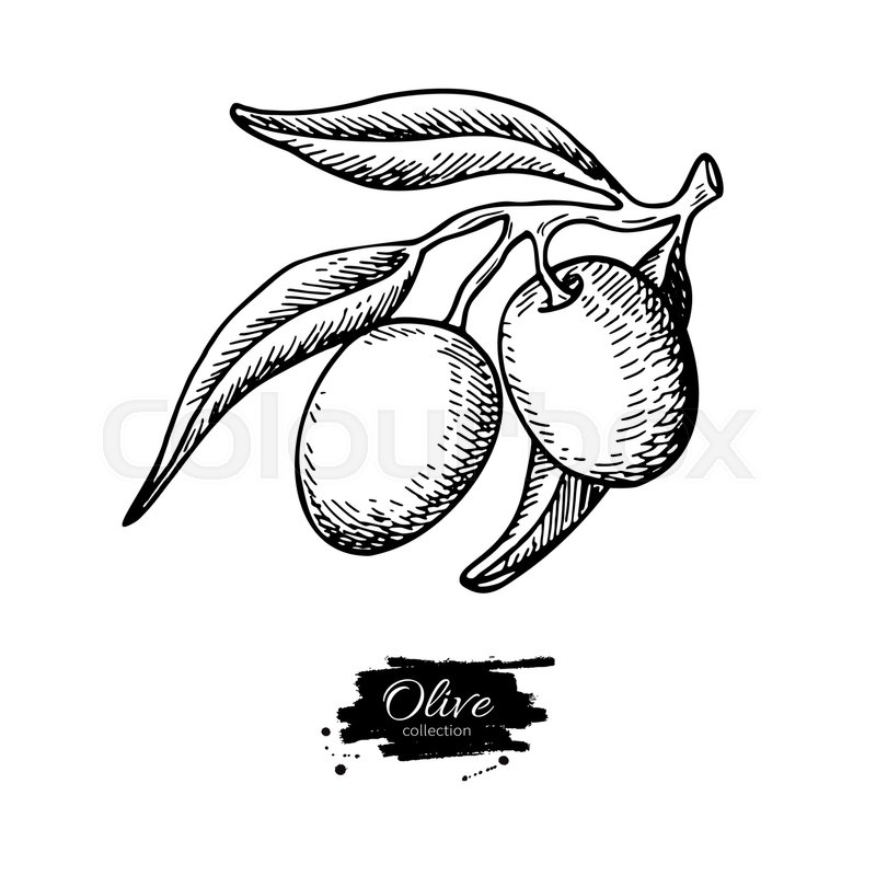 olive branch  hand drawn vector illustration  isolated