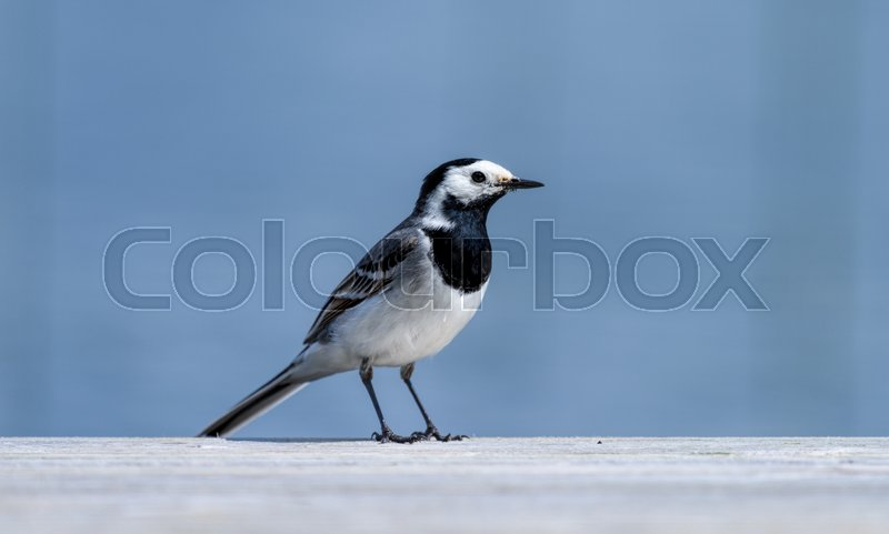 A white wagtail bird at the edge of the jetty by a lake in Finland on sunny summer afternoon , stock photo