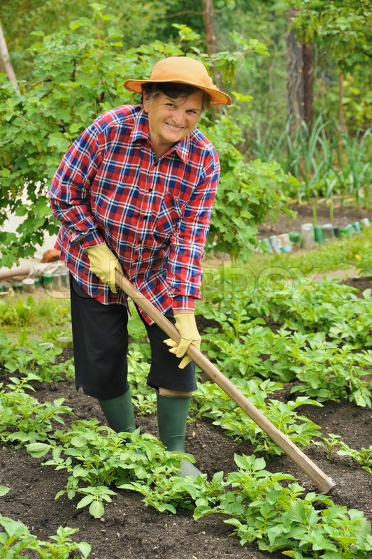 Senior woman gardening - hoeing potatoes | Stock Photo | Colourbox