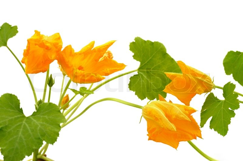 Squash flower and leaves isolated on white stock photo colourbox mightylinksfo