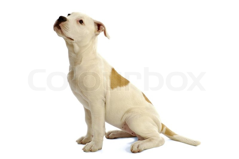 Sweet puppy dog sitting in profile on a white background for Puppy dog sitter