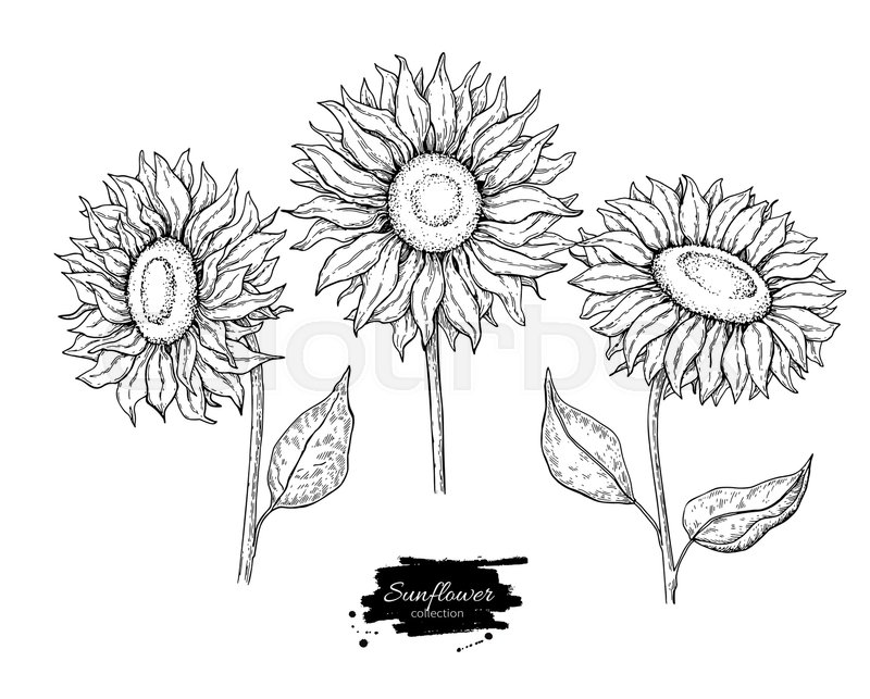 Flowers Vector Drawing Png: Sunflower Flower Vector Drawing Set. ...