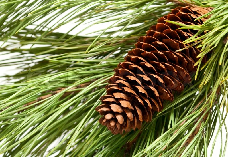 Brown Tannenzapfen und einen grünen Zweig   Stockfoto   Colourbox