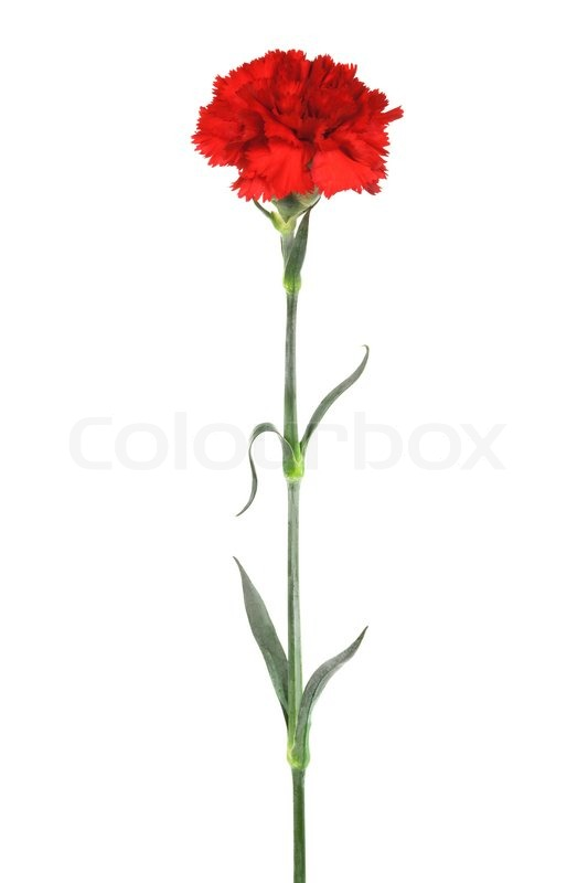 Beautiful Red Carnation On A White Background Stock