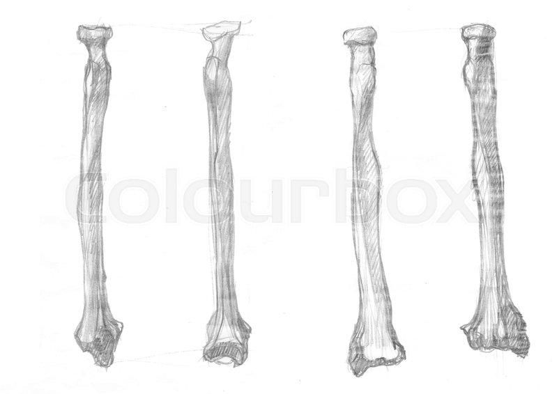 Hand Drawn Illustrations Of Radius Bone Original Pencil