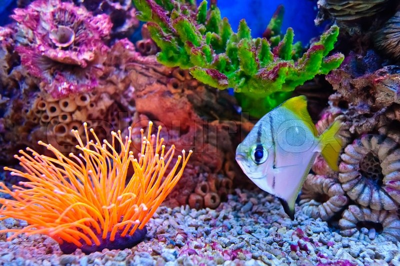 Colorful Freshwater Fish on Stock Image Of  Marine Tropical Fish Colorful Exotic Little Fish