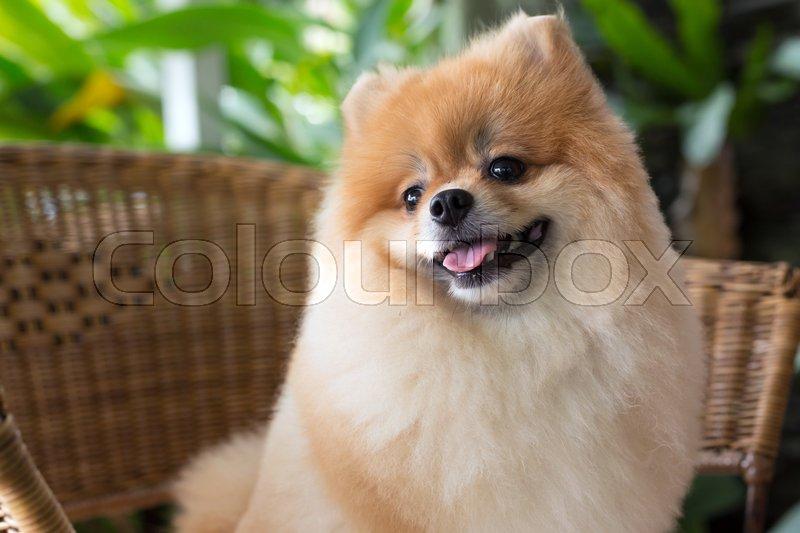 Happy pomeranian dog cute pet smile friendly, stock photo
