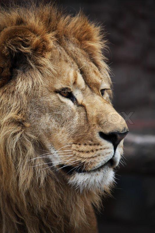 Quot Big Beautiful Lion Portrait Quot Stock Photo Colourbox