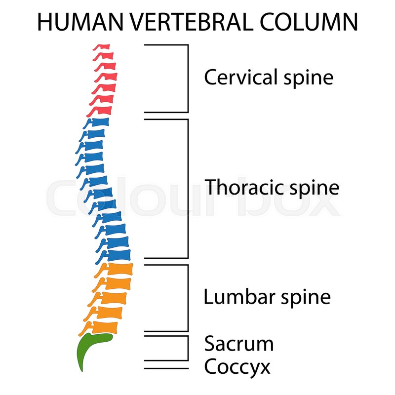 Human Vertebrae Diagram Another Wiring Diagrams