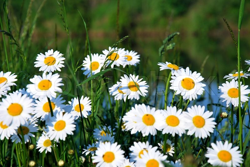 white daisy on the meadow  stock photo  colourbox, Beautiful flower